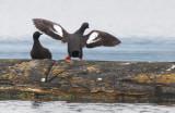 BIRD - GUILLEMOT - PIGEON GUILLEMOT - PORT ANGELES HARBOR WA (10).JPG