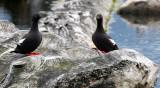 BIRD - GUILLEMOT - PIGEON GUILLEMOT - PORT ANGELES HARBOR WA (43).JPG