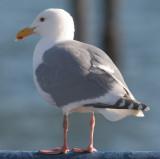 BIRD - GULL - GLAUCOUS WINGED (6).jpg