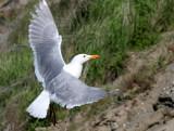 BIRD - GULL - GLAUCOUS WINGED GULL - DUNGENESS SPIT WILDLIFE RESERVE WA (22).JPG