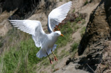 BIRD - GULL - GLAUCOUS WINGED GULL - DUNGENESS SPIT WILDLIFE RESERVE WA (25).JPG