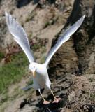 BIRD - GULL - GLAUCOUS WINGED GULL - DUNGENESS SPIT WILDLIFE RESERVE WA (27).JPG