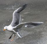 BIRD - GULL - GLAUCOUS WINGED GULL - DUNGENESS SPIT WILDLIFE RESERVE WA (31).JPG