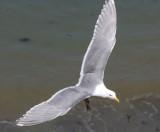 BIRD - GULL - GLAUCOUS WINGED GULL - DUNGENESS SPIT WILDLIFE RESERVE WA (8).JPG