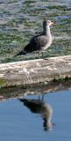 BIRD - GULL - HEERMANN'S GULL - PA HARBOR (6).JPG