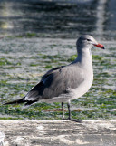 BIRD - GULL - HEERMANN'S GULL - PA HARBOR WA (11).JPG