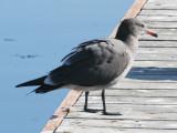 BIRD - GULL - HEERMANN'S GULL - PA HARBOR WA (6).JPG