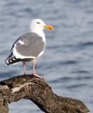 BIRD - GULL - OLYMPIC DOVE - JAMESTOWN WA (2).JPG