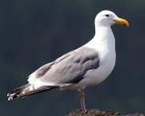 BIRD - GULL - WESTERN - SALT CREEK (9).jpg