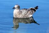 BIRD - GULL - WESTERN GULL - FIRST WINTER FORM - SEQUIM BAY WA (5).JPG
