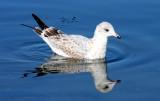 BIRD - GULL - WESTERN GULL - SECOND WINTER FORM - SEQUIM BAY (2).JPG