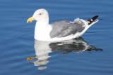 BIRD - GULL - WESTERN GULL - SEQUIM BAY (4).JPG