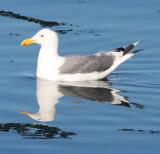 BIRD - GULL - WESTERN GULL - SEQUIM BAY (9).JPG