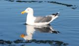 BIRD - GULL - WESTERN GULL - SEQUIM BAY.JPG