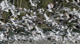BIRD - GULL - WESTERN GULL FLOCK - ELWHA RIVER MOUTH (5).JPG