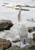 BIRD - HERON - GREAT BLUE - PA HARBOR (2).jpg