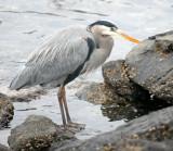 BIRD - HERON - GREAT BLUE - PA HARBOR (7).jpg