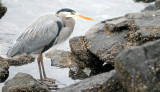 BIRD - HERON - GREAT BLUE - PA HARBOR (8).jpg