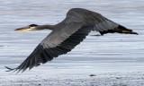 BIRD - HERON - GREAT BLUE - THREE CRABS (21).jpg