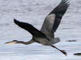 BIRD - HERON - GREAT BLUE - THREE CRABS (22).jpg