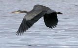 BIRD - HERON - GREAT BLUE - THREE CRABS (26).jpg