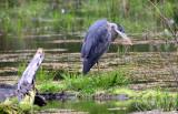 BIRD - HERON - GREAT BLUE HERON - HUNTING IN HOH RIVER WETLAND WA (5).JPG