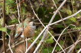 BIRD - HUMMINGBIRD - RUFOUS HUMMINGBIRD - LAKE FARM WA (19).JPG