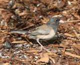 BIRD - JUNCO - DARK-EYED JUNCO - OREGON RACE PALE ADULT - DUNGENESS RIVER CENTER SEQUIM WA (3).JPG