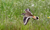 BIRD - KILLDEER - SEQUIM WA (25).JPG