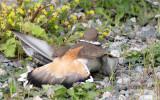 BIRD - KILLDEER - SEQUIM WA (9).JPG