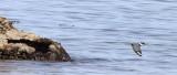 BIRD - KINGFISHER - BELTED KINGFISHER - LAKE  FARM BEACH WA (26).JPG