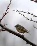 BIRD - KINGLET - RUBY-CROWNED KINGLET - SALT CREEK WA (2).JPG