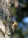 BIRD - LITTLE BROWN CREEPER - GASMAN ROAD WA F.jpg
