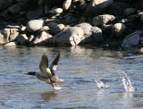 BIRD - MERGANSER - RED BREASTED MERGANSER ON ELHWA RIVER ONP (10).jpg