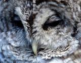 BIRD - OWL - BARRED - OP B1.jpg