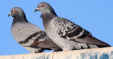 BIRD - PIGEON - ROCK PIGEON - PA HARBOR WA (9).JPG