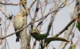 BIRD - PINE SISKIN - ELWHA RIVER MOUTH TRAILS (2).JPG