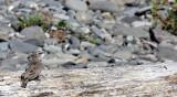BIRD - PIPIT - AMERICAN PIPIT - ELWHA RIVER MOUTH BEACH (4).JPG