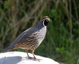 BIRD - QUAIL - CALIFORNIA QUAIL - LAKE FARM WOODS WASH (10).JPG