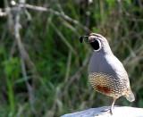 BIRD - QUAIL - CALIFORNIA QUAIL - LAKE FARM WOODS WASH (4).JPG