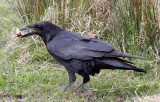 BIRD - RAVEN - SEQUIM WASHINGTON A.jpg