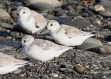 BIRD - SANDERLINGS - EDIZ HOOK PA HARBOR (10).jpg