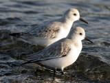 BIRD - SANDERLINGS - EDIZ HOOK PA HARBOR (15).jpg