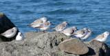 BIRD - SANDERLINGS - EDIZ HOOK PA HARBOR (31).jpg