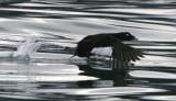 BIRD - SCOTER - BLACK-WINGED - STRAIT OF JUAN DE FUCA WA C.jpg