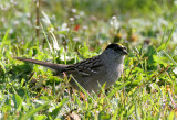 BIRD - SPARROW - GOLDEN-CROWNED SPARROW - LAKE FARM WOODS WA (11).JPG
