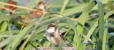 BIRD - SPARROW - HOUSE SPARROW (3).jpg