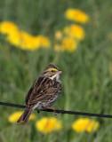 BIRD - SPARROW - SAVANNAH SPARROW - SEQUIM PRAIRIE WA (2).JPG