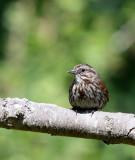 BIRD - SPARROW - SONG SPARROW - DUNGENESS RIVER AT RAILROAD PARK WA (2).JPG