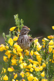 BIRD - SPARROW - SONG SPARROW - ELWHA RIVER MOUTH TRAILS (3).JPG
